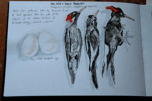 3 woodpeckers 24-09-2009 2-44-49 AM