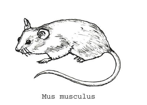 Mus musculus text