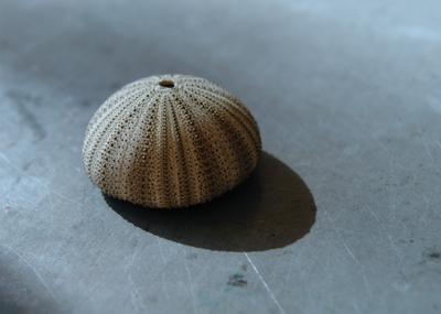 Sea_urchin_2