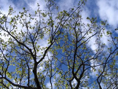 Oak_little_leaves