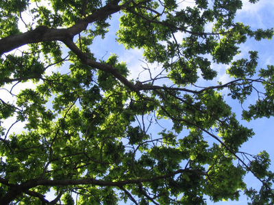 Oak_tree_leaves