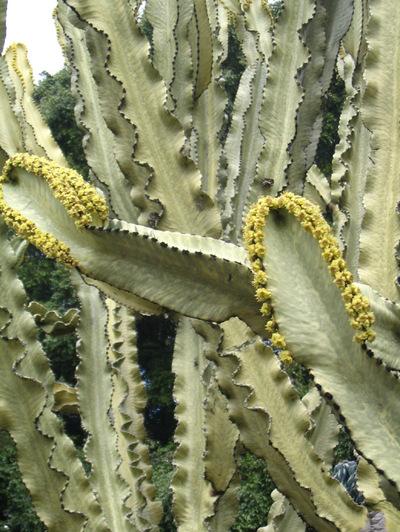Tall_succulent